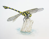 Common Clubtail Stock Image