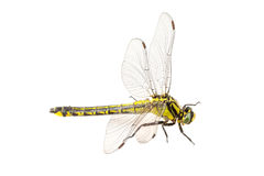 Common clubtail Gomphus vulgatissimus on a white background Stock Image