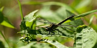 Common Clubtile dragonfly Stock Photo