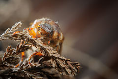 Common cockchafer on dried plant. Invertebrate european pest Stock Photography