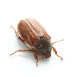 Common cockchafer (Melolontha melolontha). Over white Stock Images
