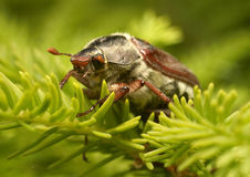 Common Cockchafer - Melolontha melolontha. Photo of may bug on fir Royalty Free Stock Image