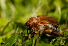 Free Common Cockchafer Melolontha Melolontha Royalty Free Stock Images - 99030969