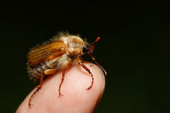 Common Cockchafer Melolontha melolontha. Known as a May bug or Doodlebug. European beetle pest on finger in Summer Stock Image