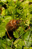 Common Cockchafer Melolontha melolontha. Known as a May bug or Doodlebug. European beetle pest in Summer Royalty Free Stock Photography