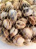 Common cockle Seafood, bivalve stock photo