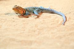 Common collared lizard. In the sand royalty free stock images