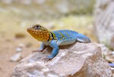 Common collared lizard Crotaphytus collaris. On stone stock photo