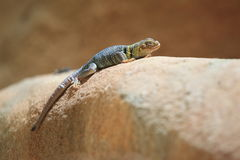 Common collared lizard Royalty Free Stock Images