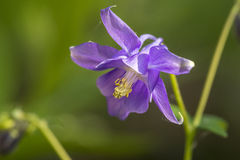 Common Columbine Stock Images