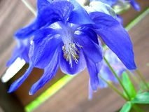 Common Columbine Flower Closeup Stock Images