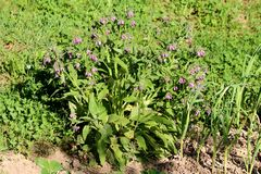 Common comfrey or Symphytum officinale hardy perennial flowering plant with bell shaped purple flowers growing in shape of small. Common comfrey or Symphytum stock photography