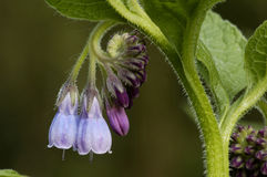 Common Comfrey Stock Images