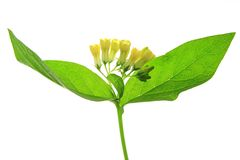 Common Comfrey. (Symphytum officinale), yellow flowering plant in front of white background Royalty Free Stock Photos