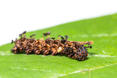 Common Commander caterpillar Stock Photography