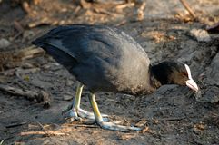 Common Coot Royalty Free Stock Photos