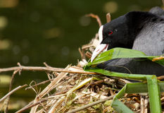 A common coot. Is building a nest Stock Photography