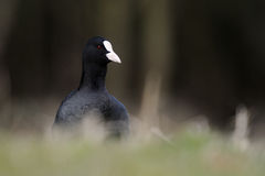 Common Coot. Standing in grass Stock Images