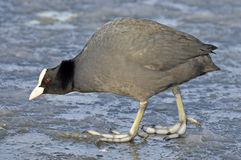 Common Coot Stock Images