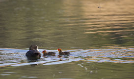 Common Coot and Babies (Fulica atra) Royalty Free Stock Images