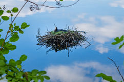 Common coot bird nest on water Fulica Atra Stock Image