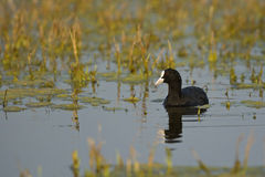 A Common Coot Stock Photo