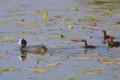 Common Coot or Eurasian Coot with Chicks Stock Image