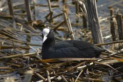 Common Coot (Fulica atra). Common Coot on a nest Stock Photography