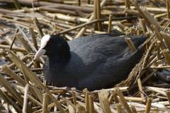 Common Coot (Fulica atra). Common Coot on a nest royalty free stock images