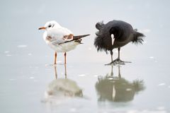 Common Coot Fulica atra and black-headed gull on ice in winter Stock Photo