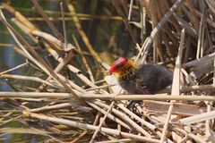 Common Coot Chick in the nest. Common coot, fulica atra, chick, a common sighting around the European waters Royalty Free Stock Photo