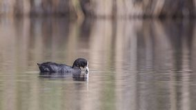 Common Coot Eating Weed in Lake royalty free stock photos