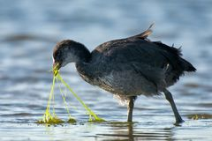 Common coot Fulica atra looking for food in the pond.  Stock Images