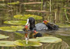 Common Coot (Fulica atra) Royalty Free Stock Photos