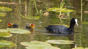 Common Coot (Fulica atra) Stock Images