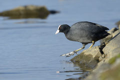 Common coot (Fulica atra) Stock Photography