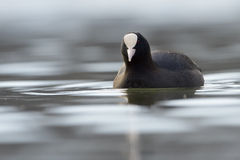 Common coot (Fulica atra) Royalty Free Stock Image