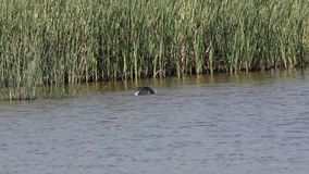 Common Coot Having Bath. Common coot, Fulica atra, is having a bath on still waters stock video footage