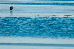Common Coot on ice Royalty Free Stock Photos