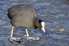 Common Coot In Winter Stock Images