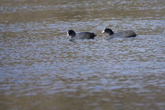 Common Coot Stock Photography