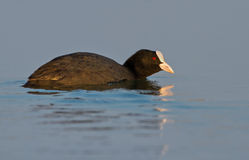 Common coot Stock Image