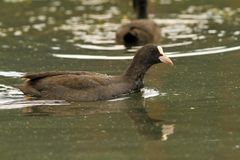 Common coot swimming on pond Stock Image
