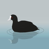 Common coot. A vector illustration of a common coot or Eurasian coot swimming Royalty Free Stock Images
