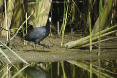 Common Coot Royalty Free Stock Images