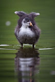 Common Coot Royalty Free Stock Photography