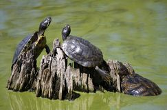 Common Cooter Turtles Sunning Themselves Royalty Free Stock Photography