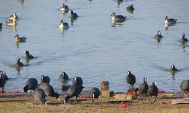 Common coots and Spot-billed Ducks, Randarda Lake, Rajkot. This is a photograph of common coots Eurasian coots, fulica atra and Spot-billed ducks anas Stock Photos