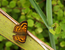 Common Copper butterfly Royalty Free Stock Photography
