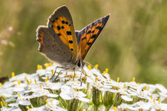 Common copper (Lycaena phlaeas) Royalty Free Stock Photo